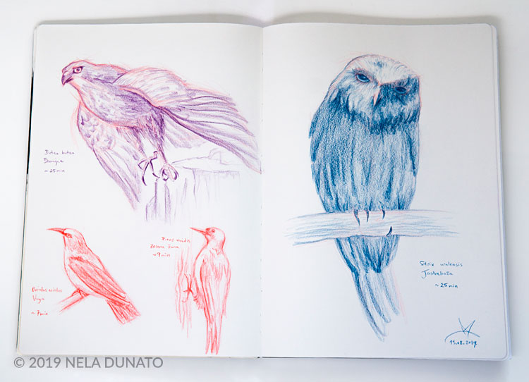 Studies of birds by Nela Dunato - colored pencils in a sketchbook