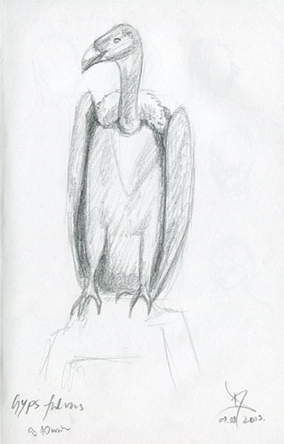 Griffon vulture pencil sketch