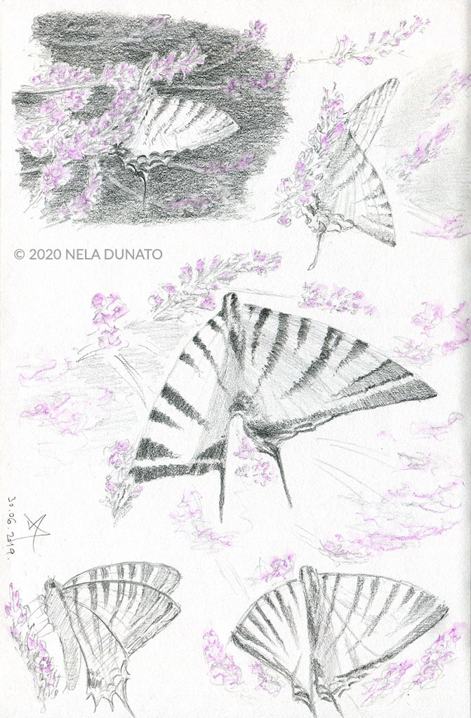 Swallowtail butterfly pencil sketches by Nela Dunato