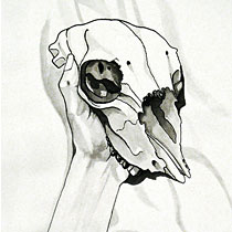 Sheep skull II